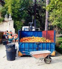 Harvest of bitter oranges en the Alcazar gardens of Seville